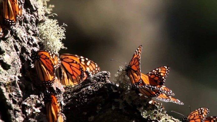 Meksyk: Wędrówki motyli monarchy // Hispanico.pl