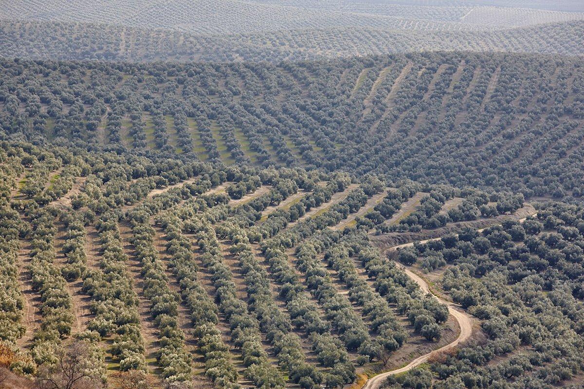 Gaje oliwne całkowicie zdominowały krajobraz prowincji Jaén.