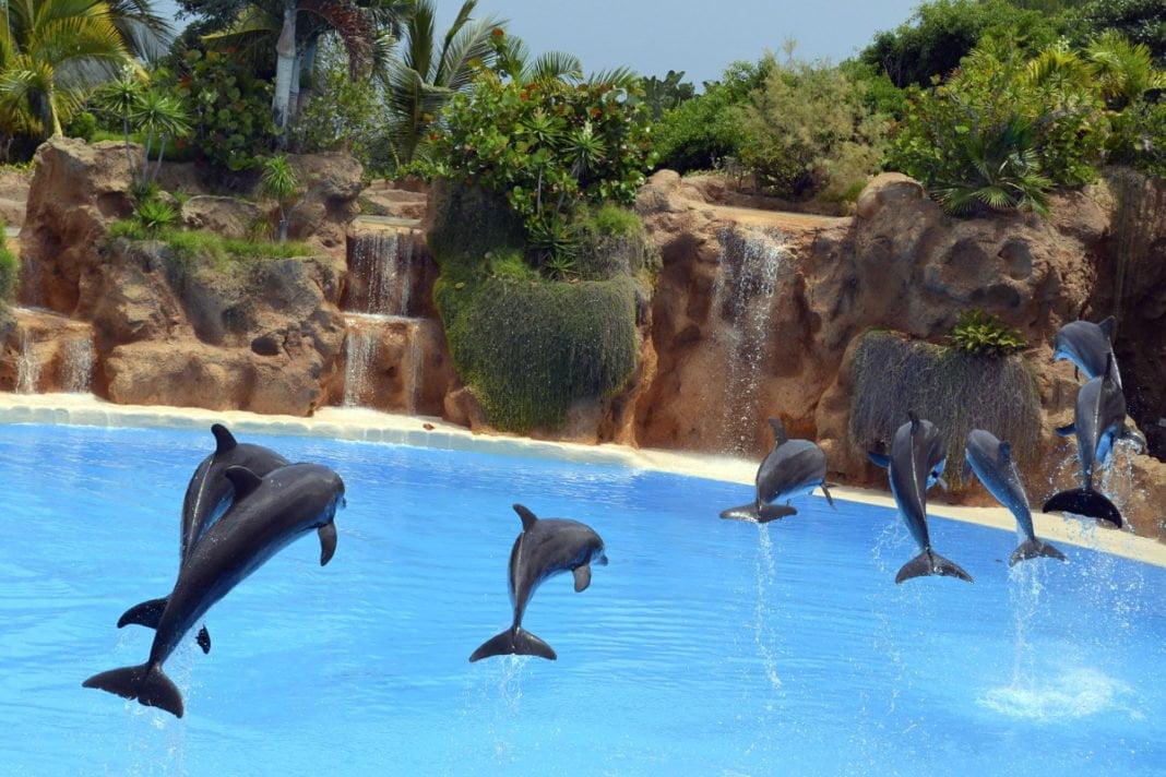 Pokaz delfinów w Loro Parku to jedna z wielu tego typu atrakcji. Swoje umiejętności pokazują także lwy morskie oraz foki. Aby poczuć większe emocje, wybierz się na pokaz orek.