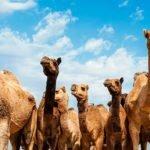 Camel Safari Park - Park wielbłądów na Gran Canarii - Atrakcje i Bilety