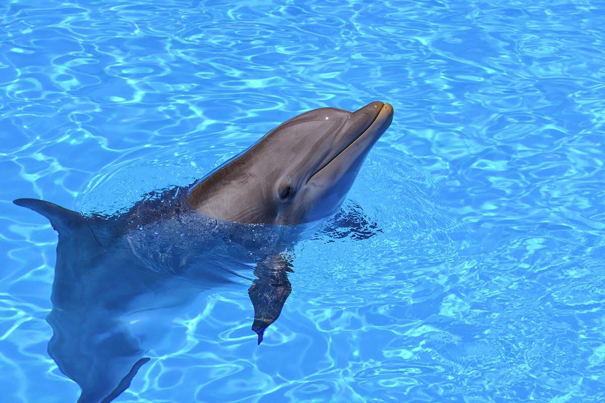 Aby zobaczyć delfiny możesz udać się do Marineland Mallorca lub wybrać się na rejs z delfinami.