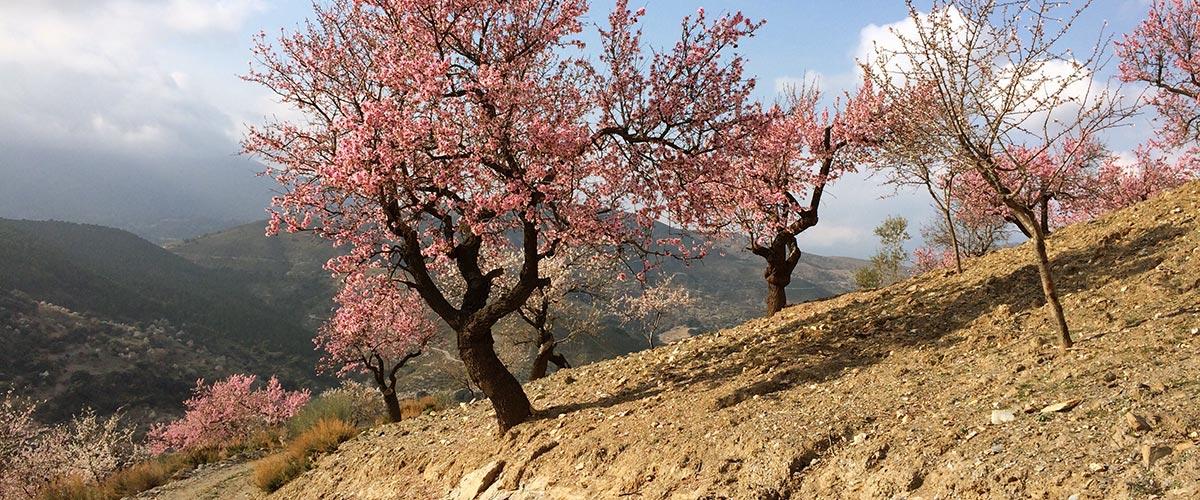 Wiosna w Andaluzji - drzewa migdałowe